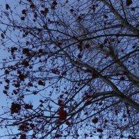 ... гроздья рябины ярко краснеют :: Татьяна Котельникова