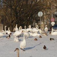 Белые в городе :: Александр Михайлов