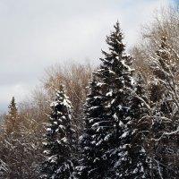Три ели, три города :: Василий Ворона