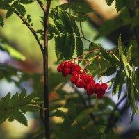 ягода рябина... :: juriy luskin