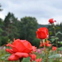 Розы :: Маргарита Орловская