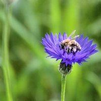 Пчелка :: Евгений Верзилин