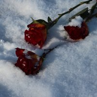 Розы, зима :: Людмила Самойлова