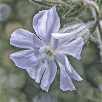 Цветик-семицветик :: Valeriy(Валерий) Сергиенко