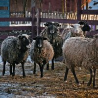 Овцы, да бараны... :: Наталья Костенко