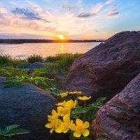 Цветы калужницы и гранитные камни :: Фёдор. Лашков
