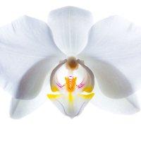 Орхидея I :: Владимир Сковородников
