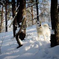 Снежные собаки :: Валентина Ломакина