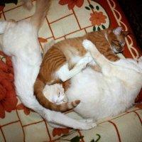 Коты :: Сергей Кочнев