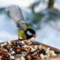 синица :: linnud