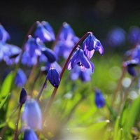 Ликует синий пролесок в апреле… :: Татьянка *