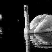 Две белых птицы :: Alexander Andronik