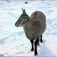 Зимним днём в ростовском зоопарке :: Нина Бутко