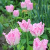 Махровые тюльпаны :: Евгений Шувалов