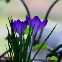 крокусы весенние первоцветы :: Антонина Владимировна Завальнюк