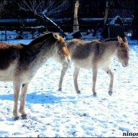 Куланы в ростовском зоопарке :: Нина Бутко