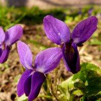 про синие цветики 1 :: Александр Прокудин