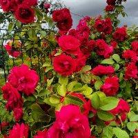 Розы :: Ольга Милованова
