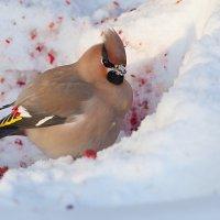 Соберу ранетки и на снегу... :: Анатолий Иргл