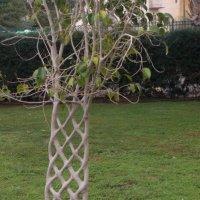 Я - такое  дерево.. :: Инна Крыжановская