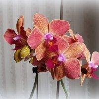 Орхидея. :: Anna Gornostayeva