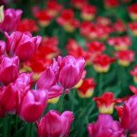 Всем девчонкам,цветочков и весеннего настроения!!! :: Игорь Осипенко