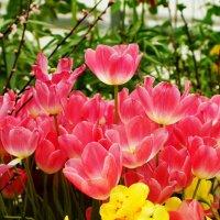 Тюльпановый рай :: Наталья Лакомова