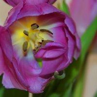 Тюльпаны родины моей, что их нарядней и скромней? :: Tatiana Markova