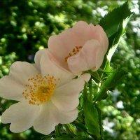 Нежность розового шиповника :: Нина Корешкова