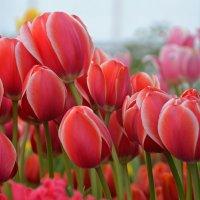 Весенние тюльпаны :: НАТАЛИ natali-t8