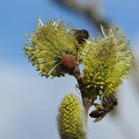 В марте просыпаются пчёлки :: Татьяна Смоляниченко