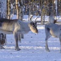 северные олени :: Георгий