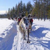северный олень пытался догнать фотографа :: Георгий