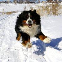 летящая собака :: Наталия Кожанова