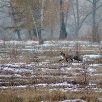 Рыжая на охоте :: Екатерина Торганская