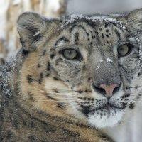 Снежный барс. :: Виктор Шпаков