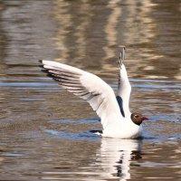 Речная чайка 1 :: Виктор Старков