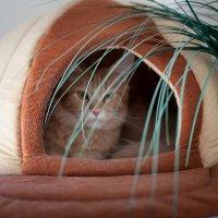 енотовая кошка (мейн-кун) :: Юрий ефимов