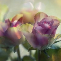Розовое очарование :: Lusi Almaz