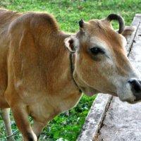 Тайская коровка! :: Натали Пам