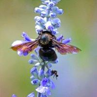 Шмель-плотник фиолетовый (лат. Xylocopa violacea) :: Nina Streapan