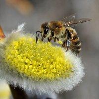 Пчелка... :: Ирина Рассветная