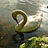 Ганноверский лебедь :: Galina Belugina