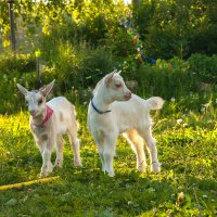 Козлик и козочка :: ARFoto Astahova