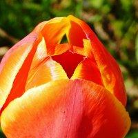 Удивительный тюльпан :: Валентина Пирогова