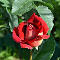 Роза - королева сада :: Ната57 Наталья Мамедова
