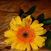 Цветок на меховом ложе :: Лира Цафф
