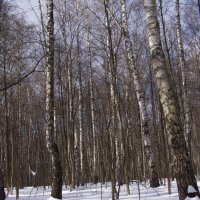 зимний лес на фоне весеннего неба :: Анна Воробьева