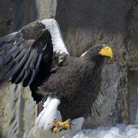 Белоплечий орлан :: mv12345 элиан