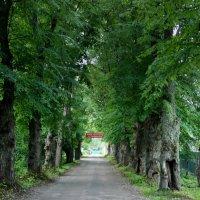 Ала Кирьола - балтийская усадьба семьи Нобель. Старинная липовая аллея :: Елена Павлова (Смолова)